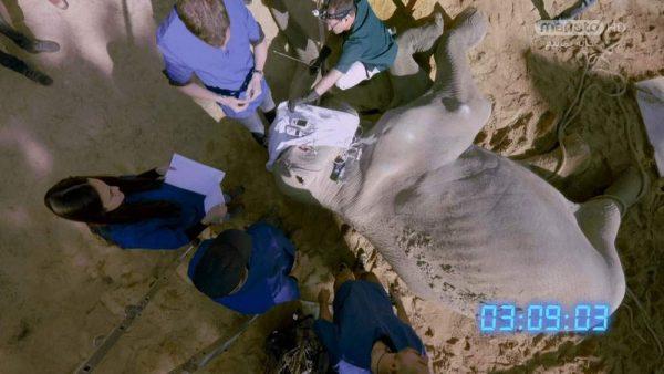 دانلود مستند فیل از مجموعه جراحی شگفت انگیز حیوانات با دوبله شبکه منوتو